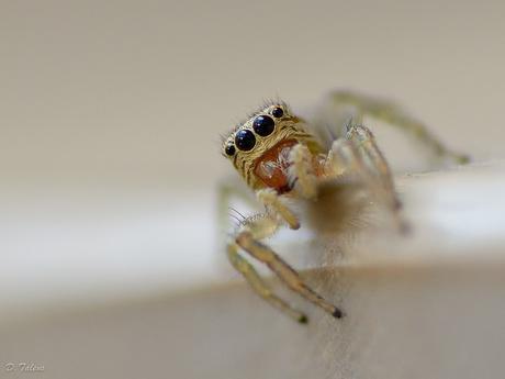 Aranyeta (Salticidae)
