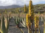 Descubirndo profundidad aloe vera Aloe Plus Lanzarote