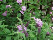 Combinar rosales III: Rosa 'Purple Skyliner' Teucrium hyrcanicum 'Paradise Delinght'