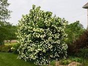 Planta Bola Nieve caracateristicas