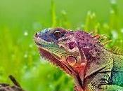 siempre quisiste saber sobre soñar lagartos.