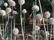 Bancal puerros para semillas