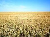 grano trigo cae...no fruto, resucita