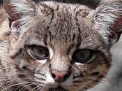Gato monte, Leopardus geoffroyi (d´Orbigny Gervais)...