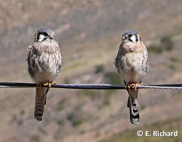 PORTFOLIO: Falco sparverius...Kili Kili... Falconidae