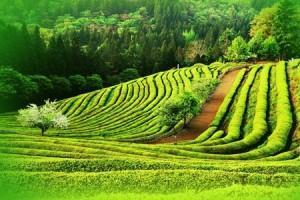 El té verde en la ayuda contra el cáncer