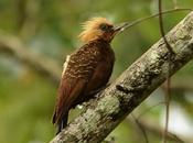 Carpintero copete pajizo (Pale-crested Woodpecker) Celeus lugubris
