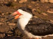 Rayador (Black Skimmer) Rynchops niger