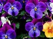 significado soñar unas violetas.