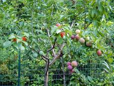 maravilloso árbol frutos