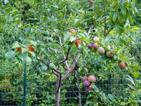 De este árbol nacen 40 frutos distintos