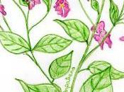 Flores Bach: Impatiens
