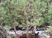 Bosque Piceas aguja vieja