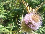 mariposa cardos