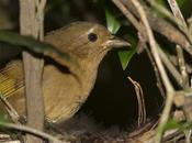 Fueguero morado (Red-crowned Ant-Tanager) Habia rubica
