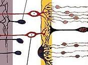 Consiguen Regenerar Células Retina
