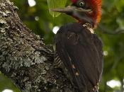 Carpintero grande (Robust Woodpecker) Campephilus robustus