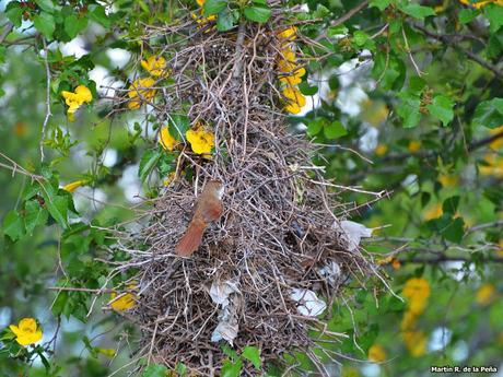 Espinero grande (Phacellodomus ruber)