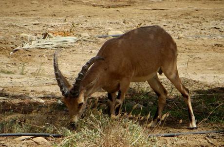 Cabra montesa en los alrededores de Ein Gedi mar Muerto en Israel