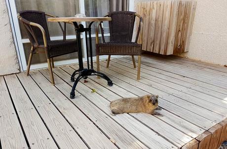 Un hyrax en la terraza de nuestra habitación mar Muerto en Israel