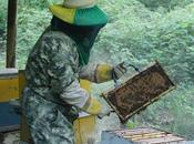 ECUADOR: apicultura, actividad 'extrae' bondades abejas
