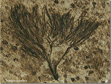 Esta alga de más de 650 millones de años es la clave del misterio