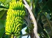 Cachitos Plátano
