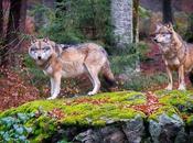 lobos vuelto Dinamarca después siglos ausencia
