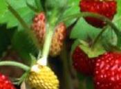 Frutilla fresa