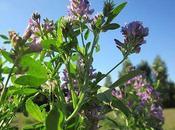 Beneficios alfalfa cuerpo humano