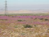 Desierto Florido Atacama