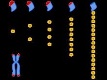 Un tren, la replicación del ADN y el envejecimiento (y sí es un cuento…)