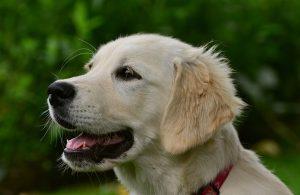 Perro Golden Retriever cachorro color crema