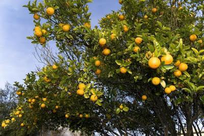 Cómo plantar árboles frutales en su jardín