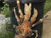 Conoce crustáceo pesado mundo