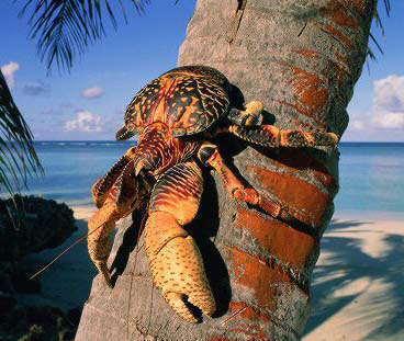 Estos cangrejos son atraídos por los objetos brillantes