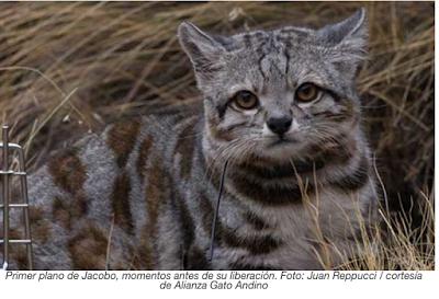 Encontrar a Jacobo: un gato andino cautiva a los conservacionistas
