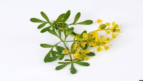 flores amarillas -ruda