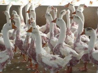 MALTRATO: Producción de plumas y plumón