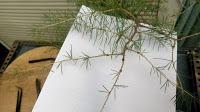 Cedro en cascada , de semilla a pre-bonsái