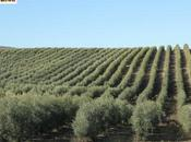 Rutas aceite. Turismo gastronómico oleoturismo provincia Jaén