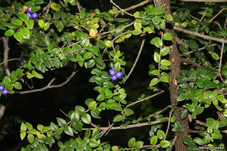 Espino azul (Rhaphithamnus spinosus)