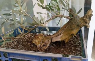 Intercambio de bonsais : Nº 111 Olivo -Tanuki