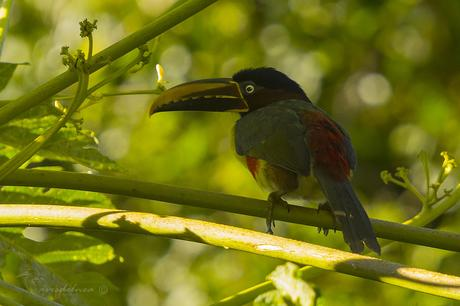 Arasarí fajado (Chestnut-eared Aracari) Pteroglossus castanotis