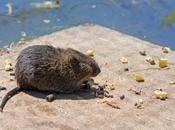 Cientos ratas subsuelos nuestras ciudades
