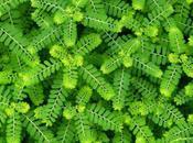 Chancapiedras (phyllanthus niruri) Usos, Beneficios Contraindicaciones