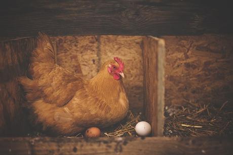 Las gallinas pueden tener muchas crías, por ende son menos osadas