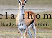 Gacela thomson