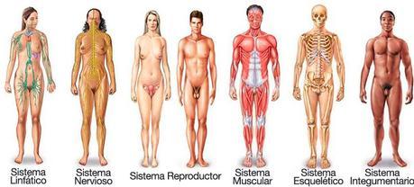 Otros 6 sistemas del cuerpo humano