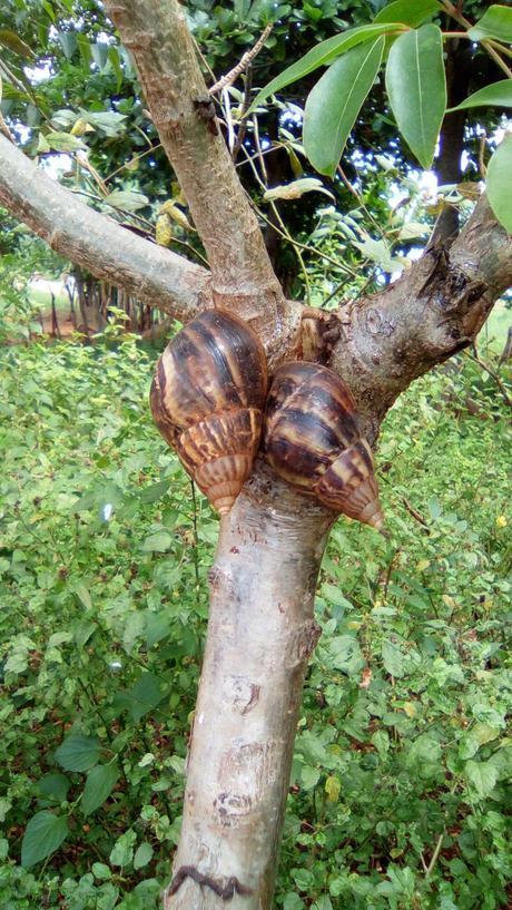 Reaparecen los Caracoles Gigantes Africanos en Cuba